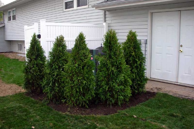 windbreak-of-evergreens-around-air-conditioner