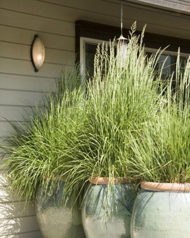 Large-potted-grass-for-windbreak